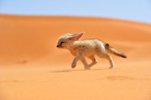 Puščavska lisica (vir)